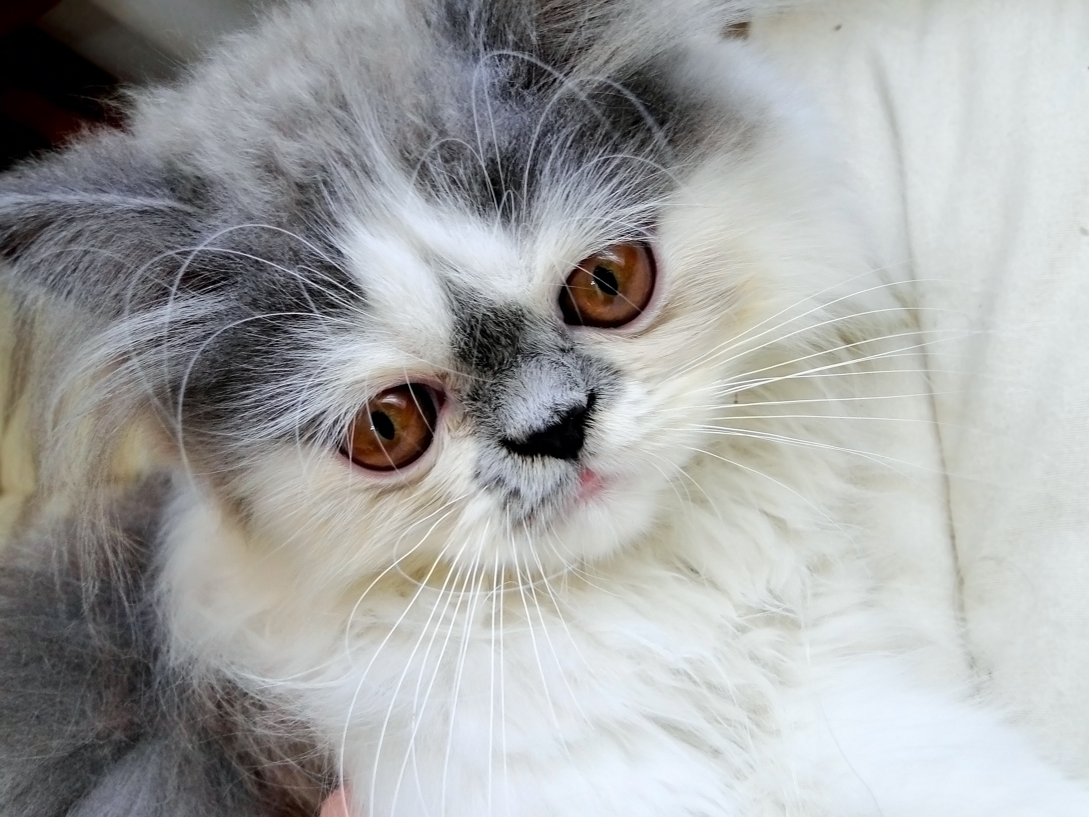 Why do Persian Cats Have Short Faces Pets Global