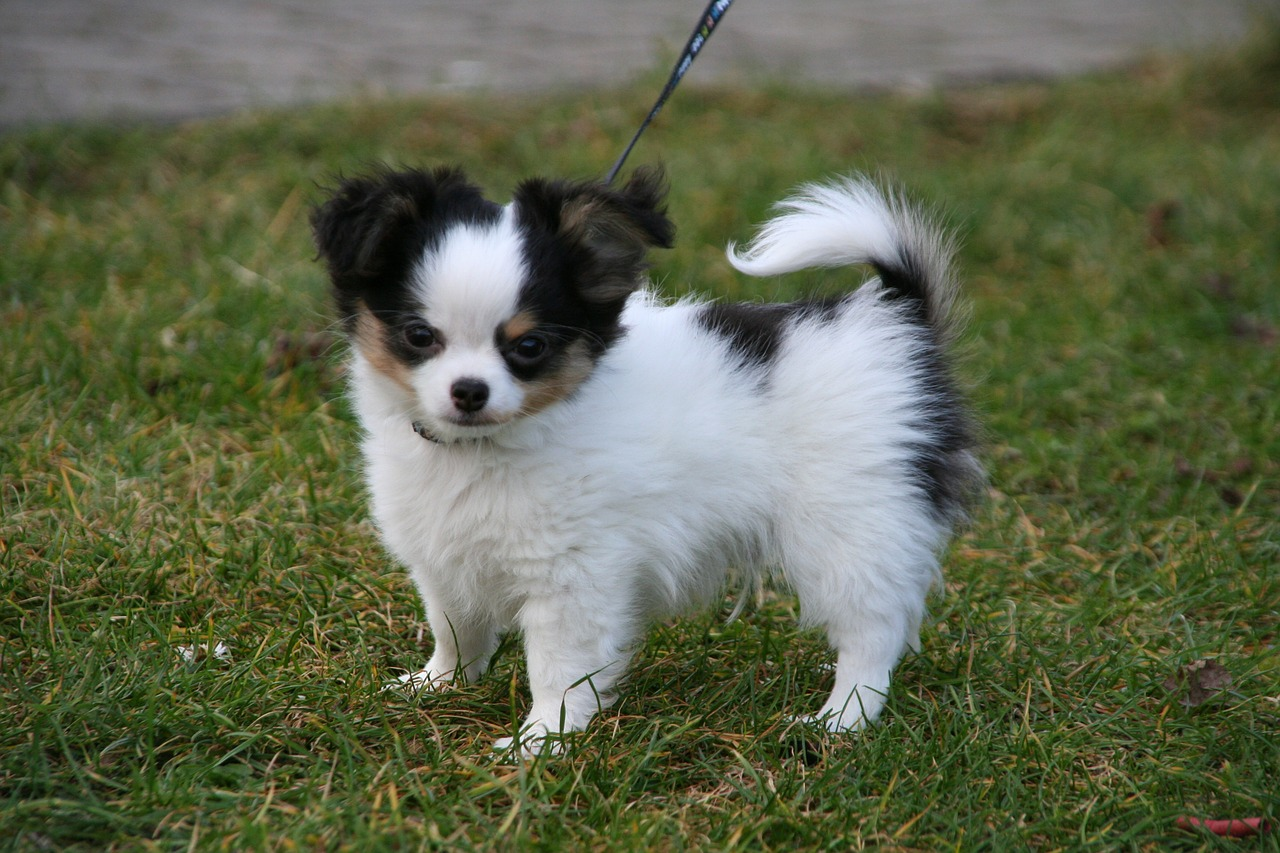 Dog Breeds With Docked Tails