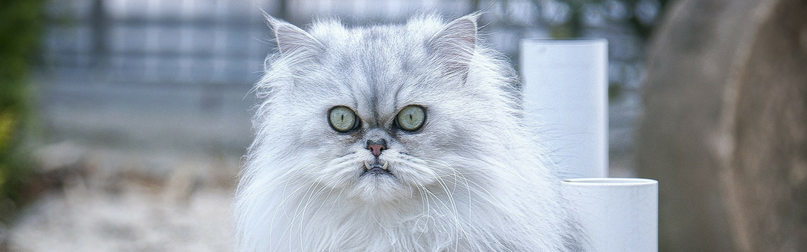 Why do Persian Cats Have Short Faces?